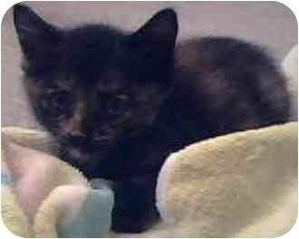 Domestic Shorthair Kitten for adoption in Tracy, California - Libby-PENDING