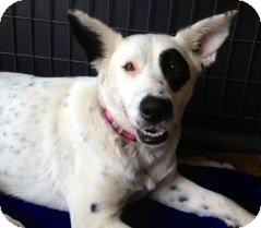 Australian Shepherd/Cattle Dog Mix Dog for adoption in Colorado Springs, Colorado - Jazmyn