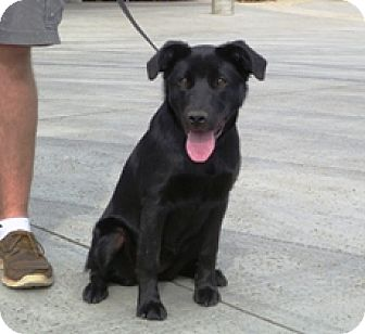 Labrador Retriever/Border Collie Mix Puppy for adoption in Lathrop, California - Midnight