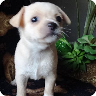 Jack Russell Terrier/Toy Fox Terrier Mix Puppy for adoption in Santa Ana, California - Samora (YW)