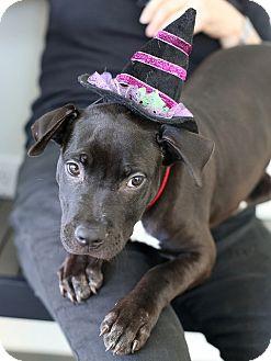 American Pit Bull Terrier Puppy for adoption in Berkeley, California - Doris