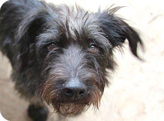 Scottie, Scottish Terrier/Schnauzer (Miniature) Mix Dog for adoption in Allentown, Pennsylvania - Cadbury
