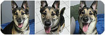 German Shepherd Dog Dog for adoption in Forked River, New Jersey - Windsor