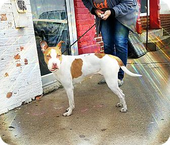 American Staffordshire Terrier Mix Dog for adoption in Kewanee, Illinois - Paige