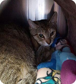 Domestic Shorthair Cat for adoption in Port Hope, Ontario - Jade