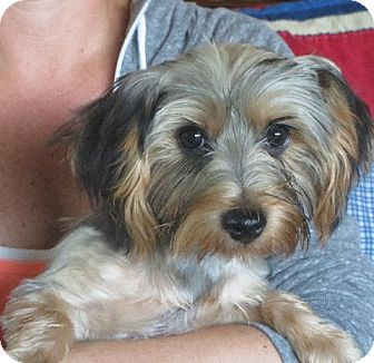 Yorkie, Yorkshire Terrier Puppy for adoption in Allentown, Pennsylvania - Armond