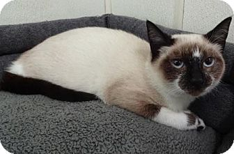 Domestic Shorthair Kitten for adoption in Lathrop, California - Willow