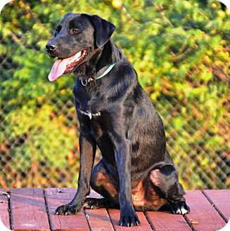 Labrador Retriever Dog for adoption in Pleasant Plain, Ohio - Bolo
