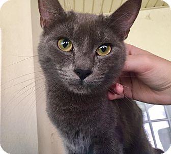 Russian Blue Cat for adoption in Hammond, Louisiana - Huxley