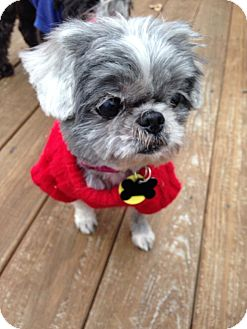 Shih Tzu Mix Dog for adoption in Wilmington, Delaware - Cindy Lou