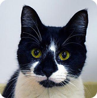 Domestic Shorthair Cat for adoption in Norwalk, Connecticut - Iris