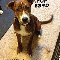Adopt A Pet :: Brisket - Spring, TX