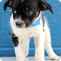 Chihuahua/Jack Russell Terrier Mix Puppy for adoption in Waldorf, Maryland - Kiwi
