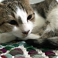 Domestic Shorthair Cat for adoption in Durham, North Carolina - Marble