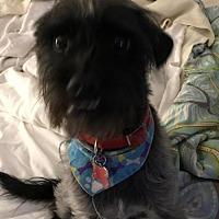 Adopt A Pet :: Scotty - Surprise, AZ
