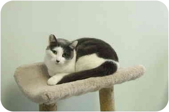 Domestic Shorthair Cat for adoption in Batavia, Ohio - Patch