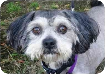 Lhasa Apso Mix Dog for adoption in West Los Angeles, California - Swiffer
