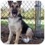 Photo 1 - German Shepherd Dog Puppy for adoption in Los Angeles, California - Freddy von Sayers - PETITE