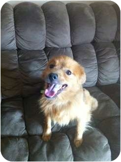 Fox Terrier (Smooth)/Chow Chow Mix Puppy for adoption in Oceanside, California - Davis