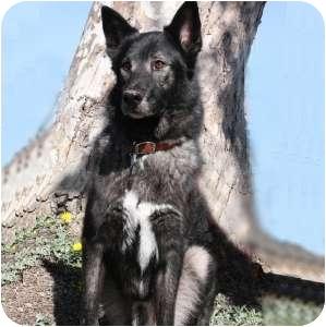 Shepherd (Unknown Type) Mix Dog for adoption in Redondo Beach, California - Silver