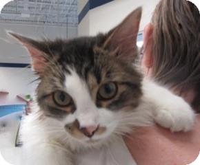 Domestic Shorthair Kitten for adoption in Warren, Michigan - Bobble