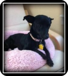 Dachshund/Chihuahua Mix Dog for adoption in Indian Trail, North Carolina - Lily
