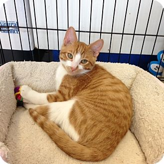 Domestic Shorthair Kitten for adoption in Toronto, Ontario - Aaron