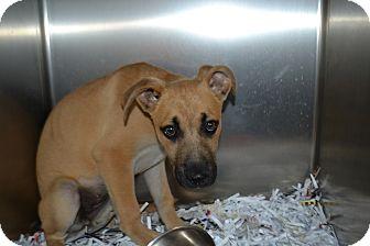 Shepherd (Unknown Type) Mix Puppy for adoption in Edwardsville, Illinois - KiKi