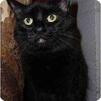 Domestic Shorthair Cat for adoption in Grayslake, Illinois - Mungojerrie