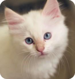 Siamese Kitten for adoption in Irvine, California - Frank
