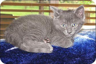 Domestic Shorthair Kitten for adoption in Colville, Washington - Jazzy