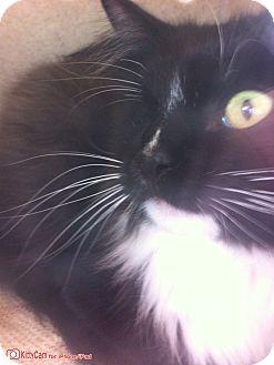 Domestic Mediumhair Cat for adoption in Riverside, California - Bertha