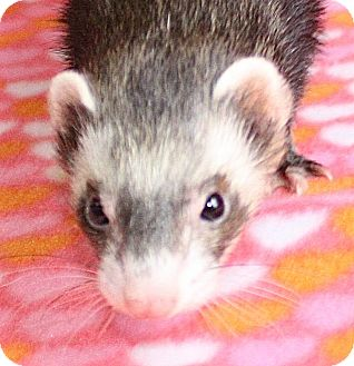 Ferret for adoption in Jackson, Michigan - Ashely