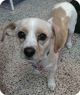 Cavalier King Charles Spaniel/Beagle Mix Dog for adoption in Thousand Oaks, California - Paris