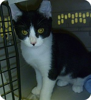 Domestic Shorthair Cat for adoption in Hamburg, New York - Bobbie