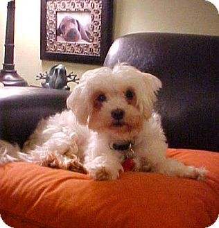 Maltese/Poodle (Miniature) Mix Dog for adoption in Dahlgren, Virginia - Jake - 11 lbs