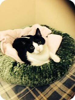 Domestic Shorthair Cat for adoption in Medford, Massachusetts - Yenna