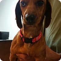 Adopt A Pet :: Iris - one blue eye! - Phoenix, AZ
