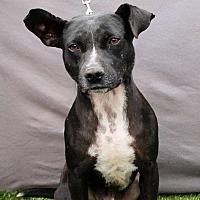 Adopt A Pet :: Ozzie - Inglewood, CA