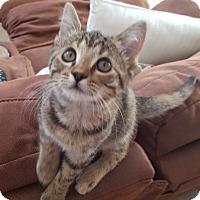 Adopt A Pet :: Catepillar - The Colony, TX