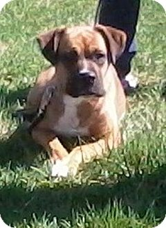 Boxer Mix Dog for adoption in Tipp City, Ohio - Sophie