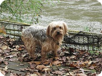 Yorkie, Yorkshire Terrier Dog for adoption in Lincolndale, New York - Frankie
