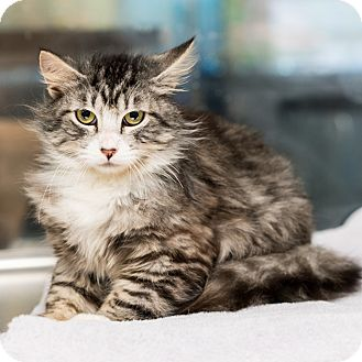 Domestic Longhair Cat for adoption in Houston, Texas - Nolan