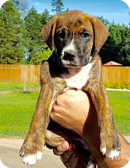 Boxer/Shepherd (Unknown Type) Mix Puppy for adoption in Harrisburg, Pennsylvania - Blair