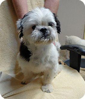 Shih Tzu Dog for adoption in Metairie, Louisiana - BOO BOO