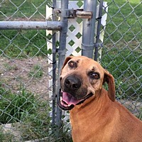 Rhodesian Ridgeback Mix Dog for adoption in Lake Placid, Florida - Falcon