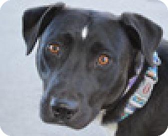 Labrador Retriever/Australian Shepherd Mix Dog for adoption in Portola, California - Brandy