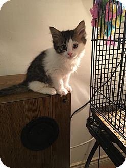 Domestic Mediumhair Kitten for adoption in Wasilla, Alaska - Molly