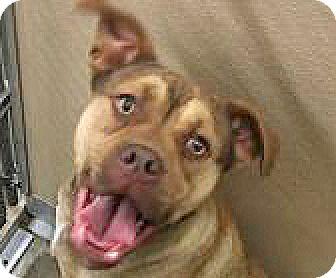 American Bulldog Mix Puppy for adoption in Spokane, Washington - Scotia