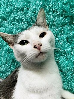 Domestic Shorthair Cat for adoption in Norristown, Pennsylvania - Lily Atherton